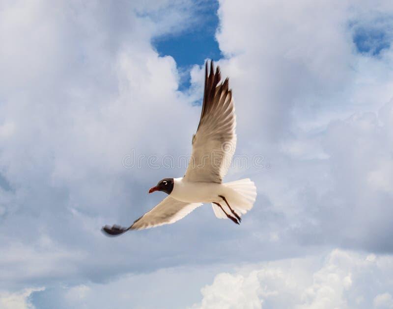 Gaviota de risa en vuelo sobre la playa atlántica imágenes de archivo libres de regalías