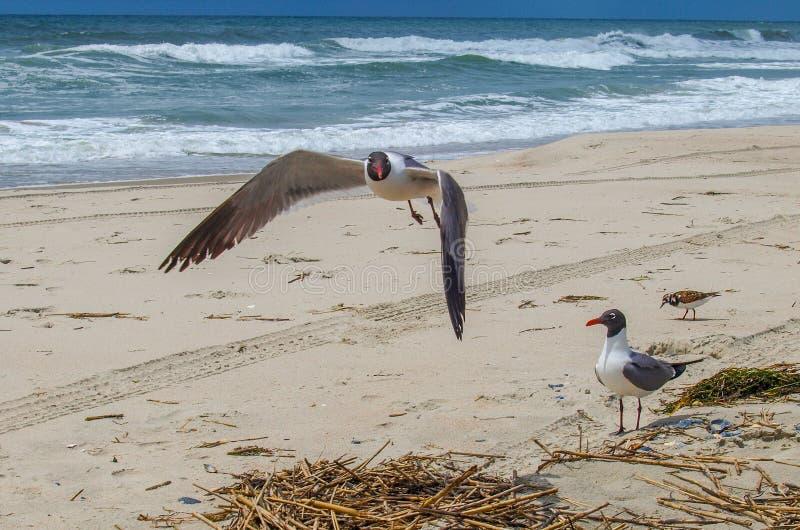 Gaviota de risa en vuelo sobre la playa atlántica imagen de archivo libre de regalías