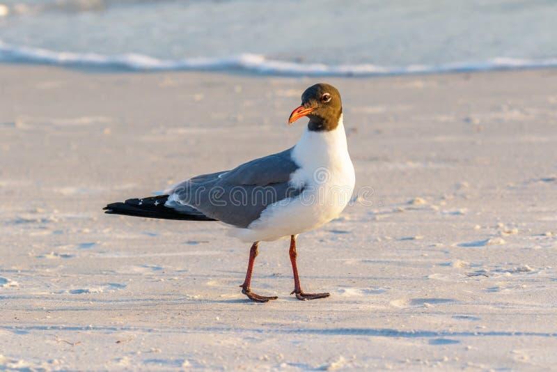 Gaviota de risa madura que camina en la playa foto de archivo