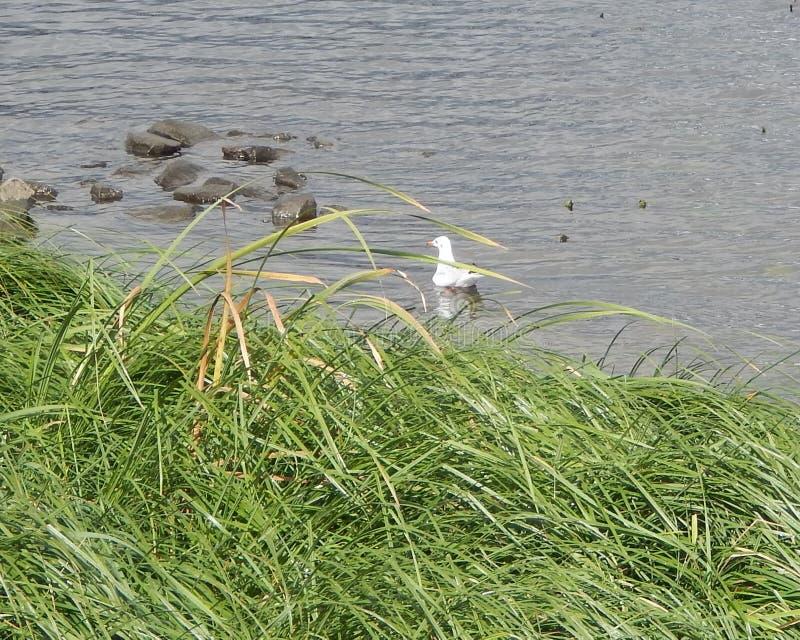 gaviota del pájaro que flota cerca de la orilla del río overgrown fotos de archivo libres de regalías