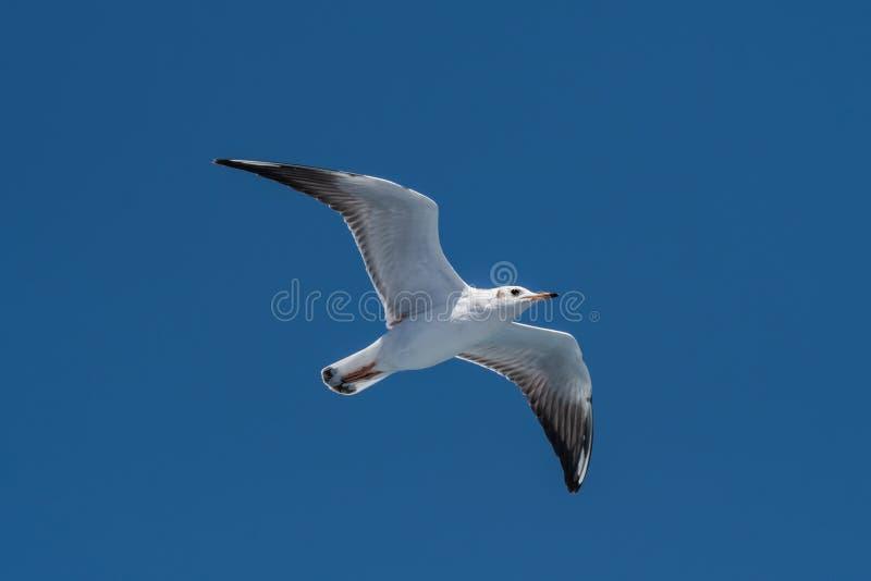Gaviota del ` s de Audouin - audouinii de Ichthyaetus en vuelo sobre el cielo azul fotos de archivo libres de regalías