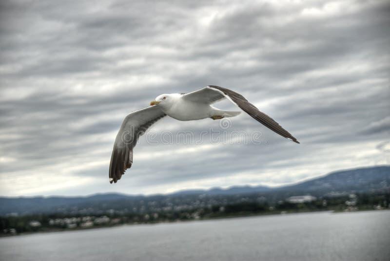 Gaviota del vuelo fotos de archivo libres de regalías