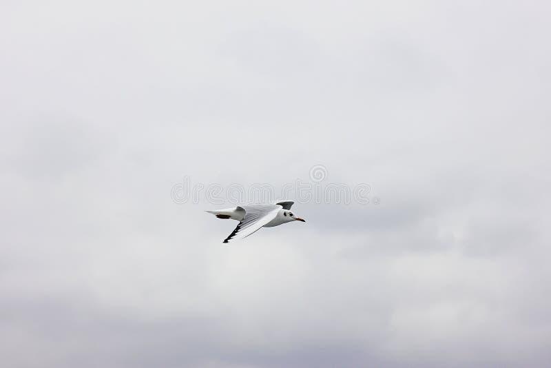 Gaviota del vuelo en un cielo gris de la nube fotografía de archivo libre de regalías