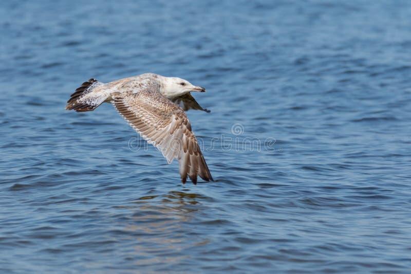 Gaviota del vuelo sobre el agua imagen de archivo libre de regalías