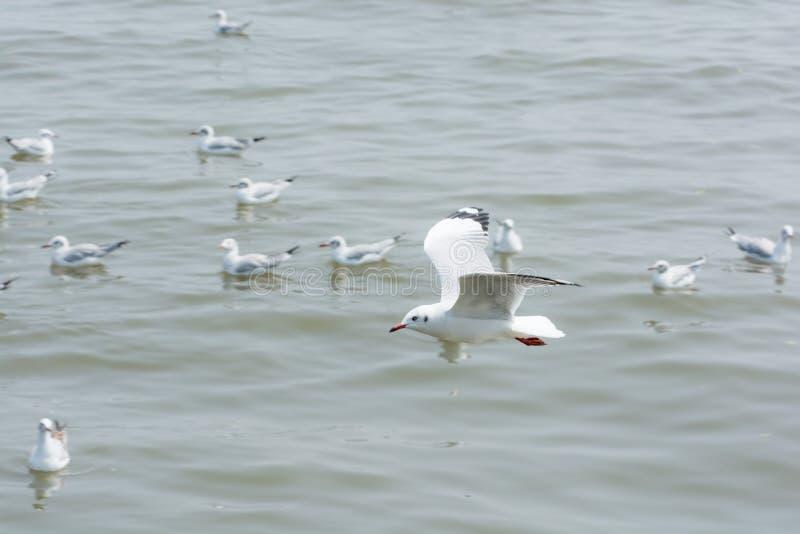 Gaviota del vuelo sobre el agua fotos de archivo