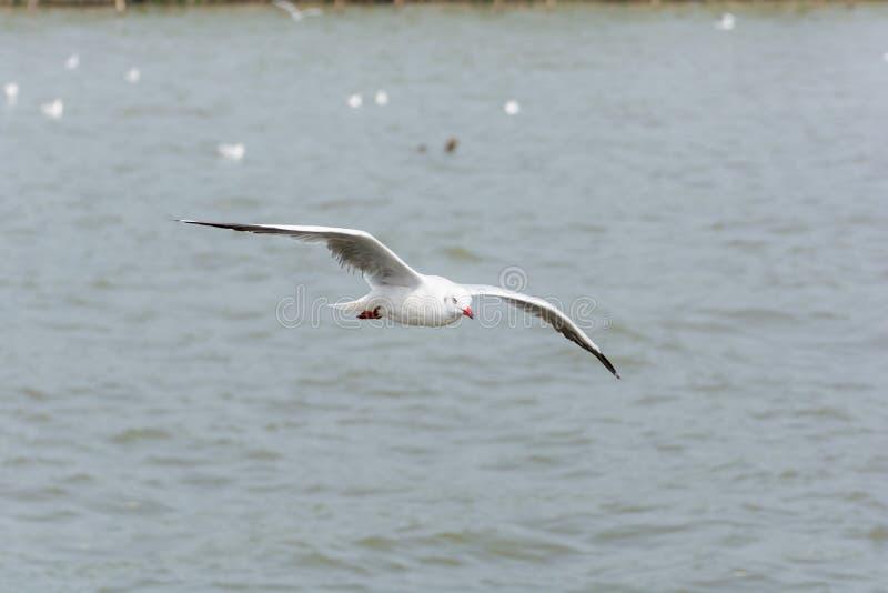 Gaviota del vuelo sobre el agua fotos de archivo libres de regalías