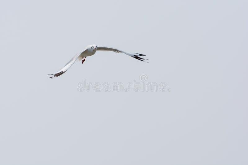 Gaviota del vuelo sobre el agua imagen de archivo