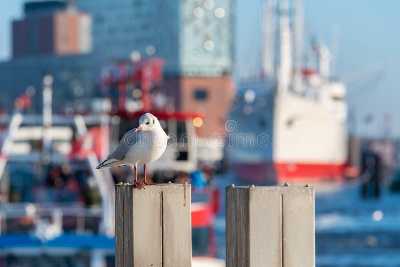 Gaviota delante de una nave y el Elbphilharmonie en el puerto de Hamburgo imagenes de archivo