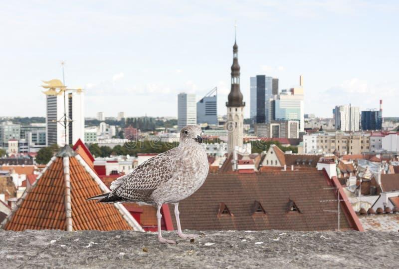 Gaviota delante del panorama de Tallinn foto de archivo