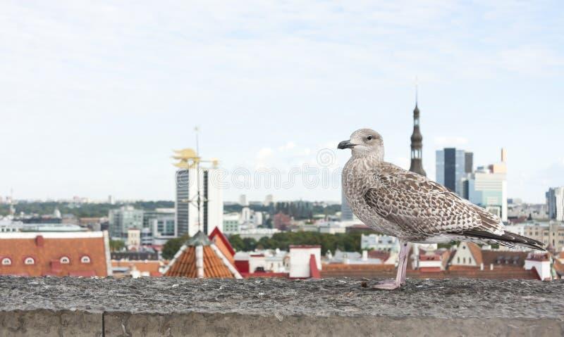 Gaviota delante del panorama de Tallinn foto de archivo libre de regalías
