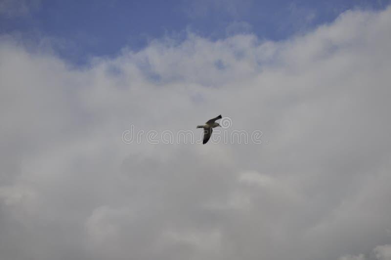 Gaviota en el cielo imagen de archivo libre de regalías