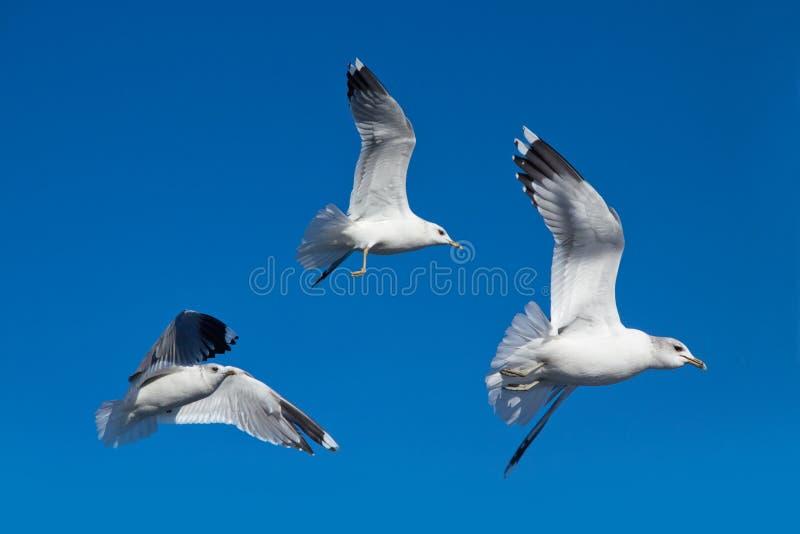 Gaviota en el cielo azul foto de archivo libre de regalías
