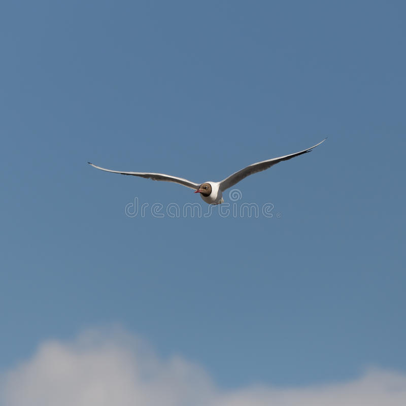 Gaviota en el cielo azul imagen de archivo libre de regalías
