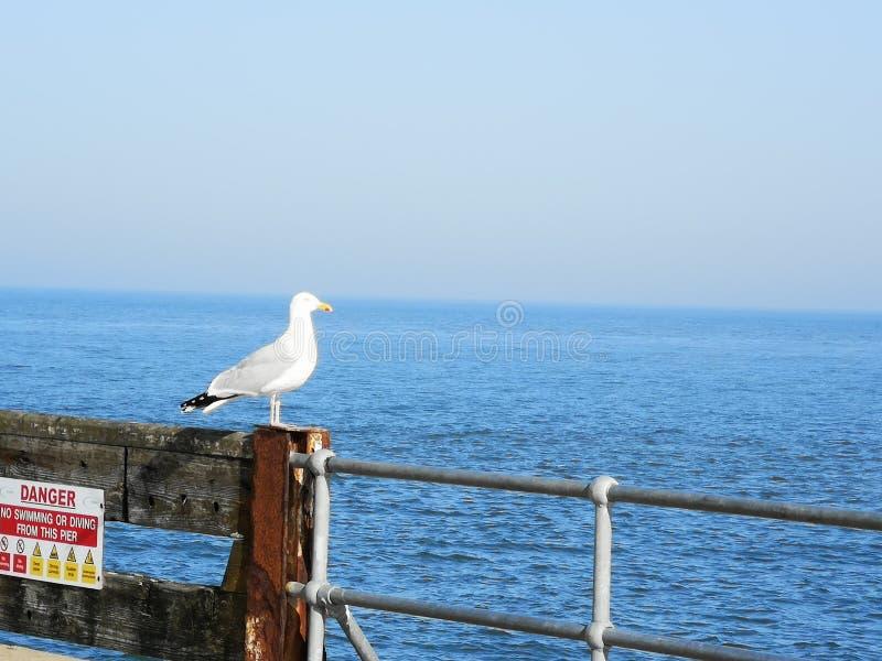 Gaviota en el mar Norfolk fotografía de archivo