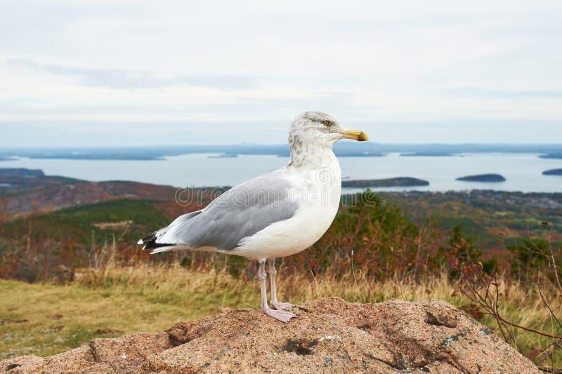 Gaviota en el parque nacional del Acadia, Maine fotografía de archivo libre de regalías