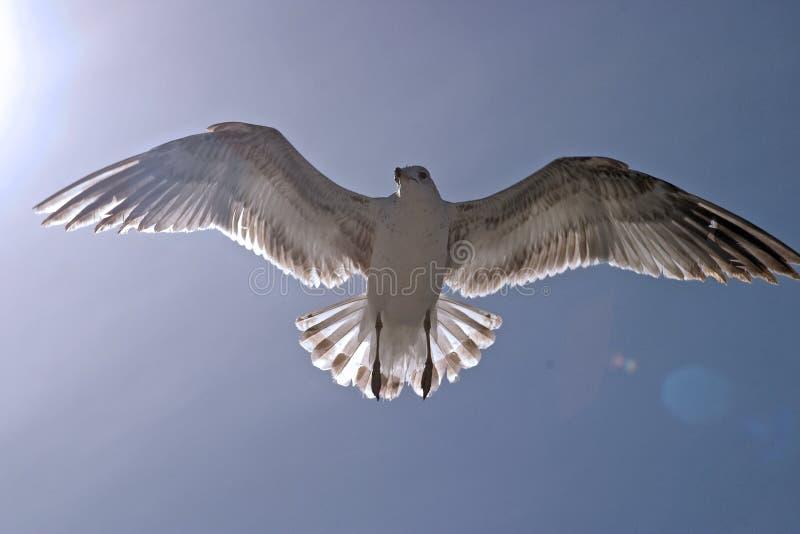 Download Gaviota en el sol imagen de archivo. Imagen de aves, sunlight - 186119