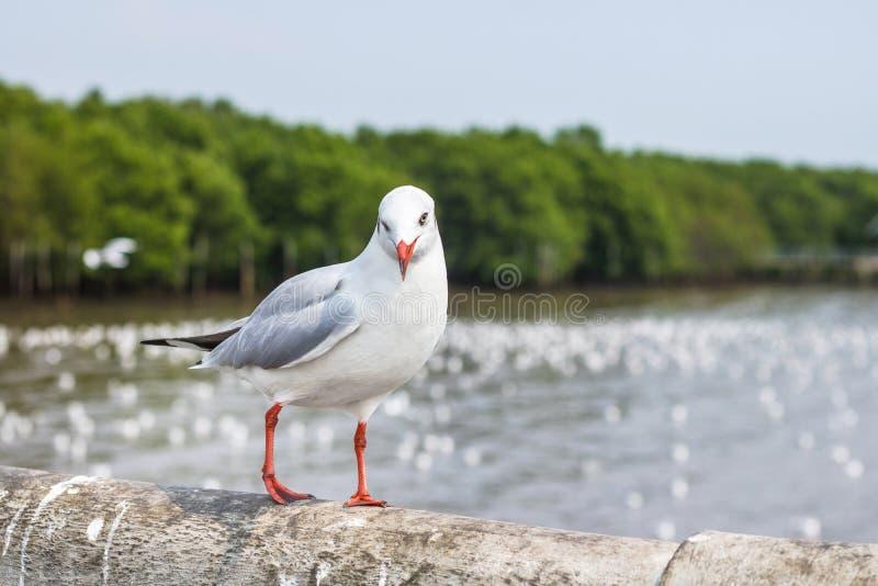 Gaviota en fondo de la naturaleza Pájaro de mar blanco en el puente imagen de archivo libre de regalías