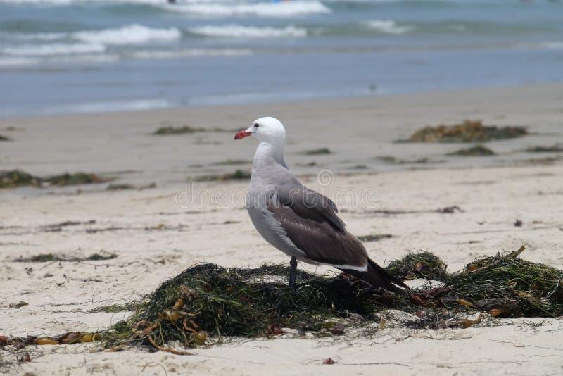 Gaviota en la playa - California, Estados Unidos imagen de archivo libre de regalías