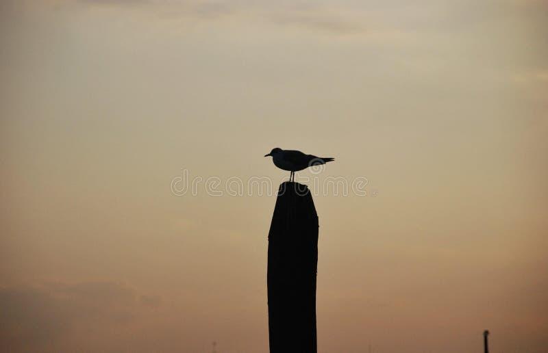 Gaviota en la puesta del sol imagen de archivo libre de regalías