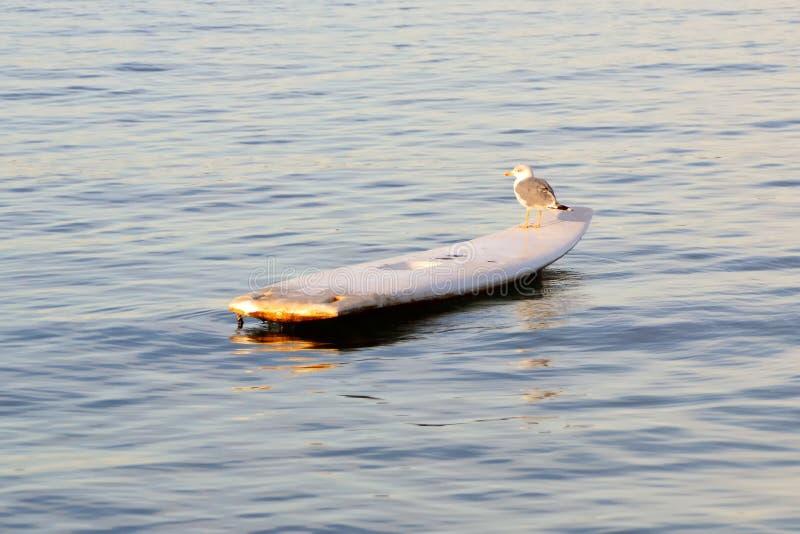 Gaviota en la resaca en el mar tranquilo imagen de archivo