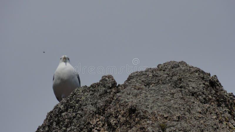 Gaviota en la roca fotografía de archivo libre de regalías