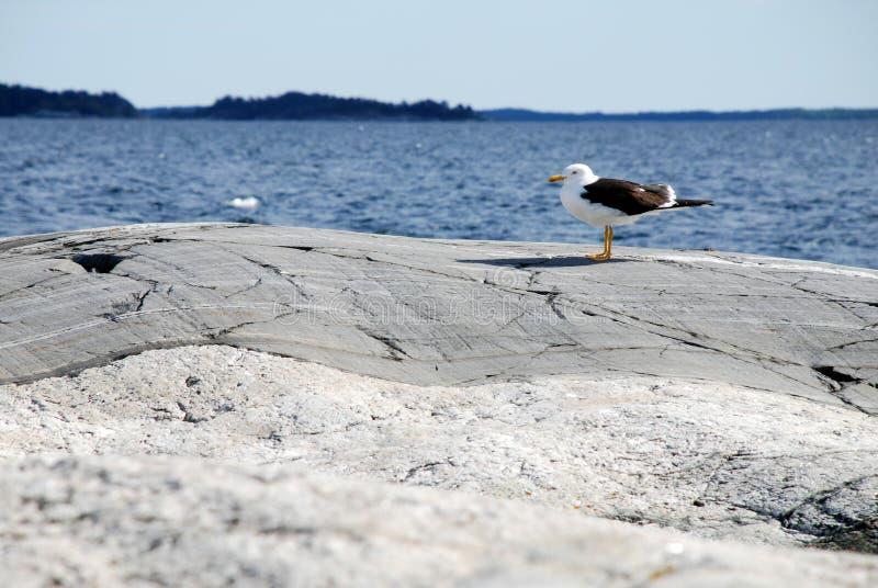 Gaviota en las rocas foto de archivo libre de regalías