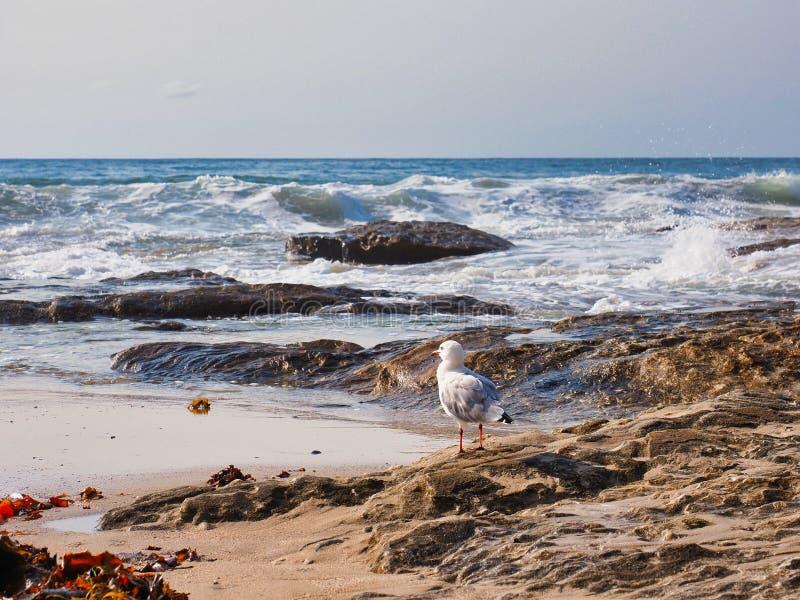 Gaviota en rocas que mira las olas oceánicas pesadas, Sydney, Australia imagenes de archivo