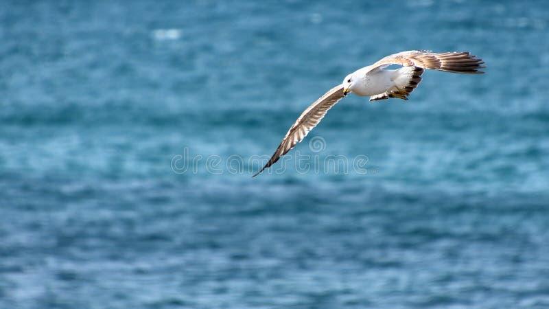 Gaviota en su caza en el mar foto de archivo