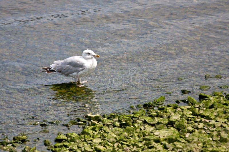 Gaviota, en una roca, en el mar foto de archivo libre de regalías