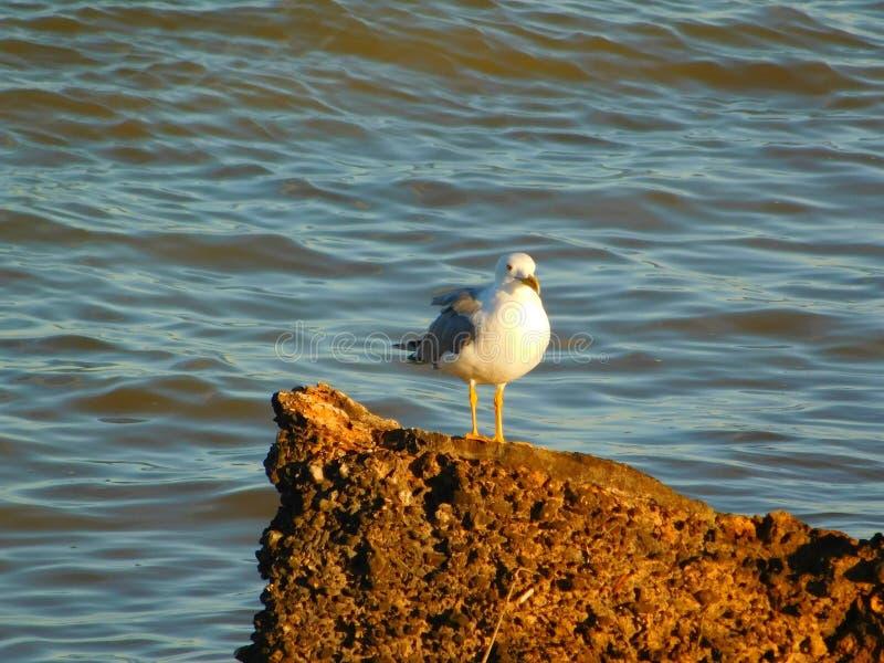 Gaviota en una roca en el mar fotografía de archivo