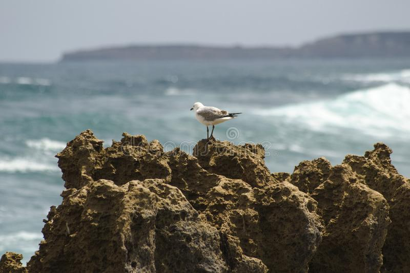Gaviota en una roca en gran océano camino del mar, Australia foto de archivo