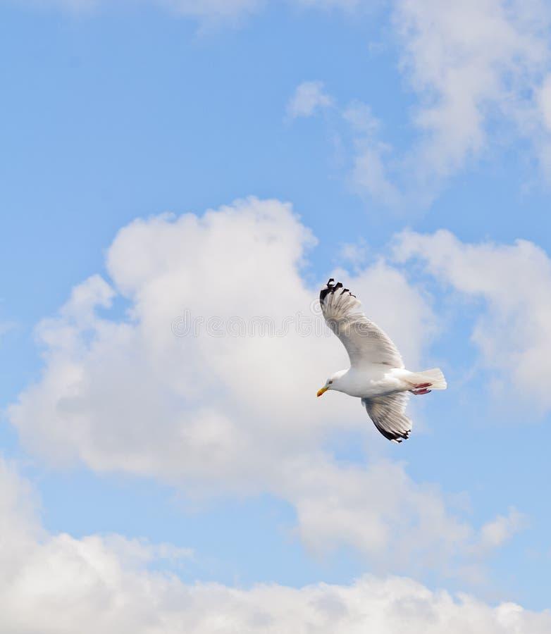 Download Gaviota en vuelo imagen de archivo. Imagen de plumas - 100528455