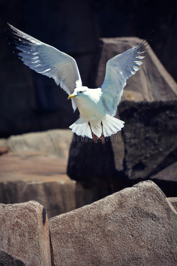 Gaviota en vuelo foto de archivo libre de regalías