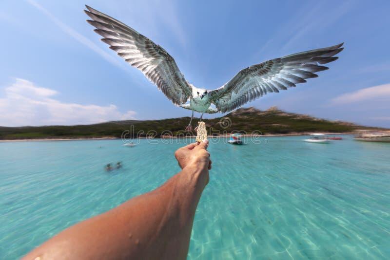 Gaviota en vuelo, swooping hacia la comida sostenida en una mano del ` s de la persona fotos de archivo libres de regalías