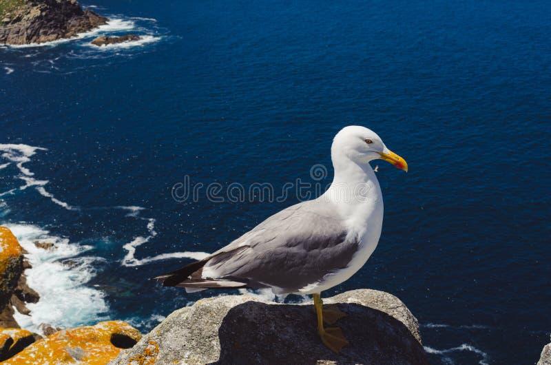 Gaviota encaramada en la roca que hace frente al mar Islas de Cíes, Galicia, Pontevedra, Vigo foto de archivo