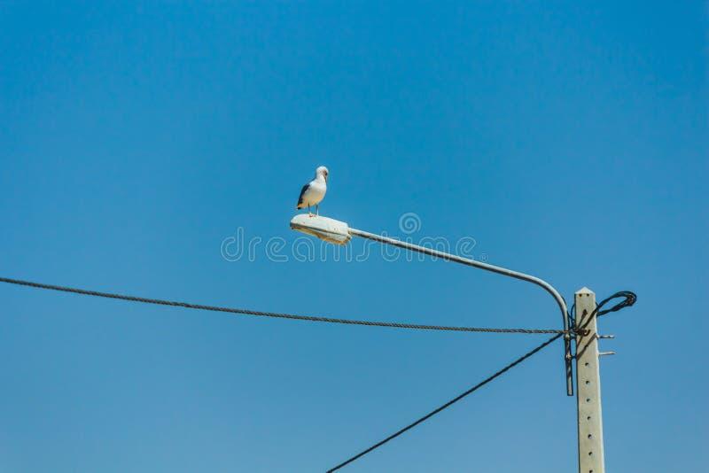 Gaviota encima de la lámpara de calle conectada con las líneas eléctricas, Lagos, P fotos de archivo