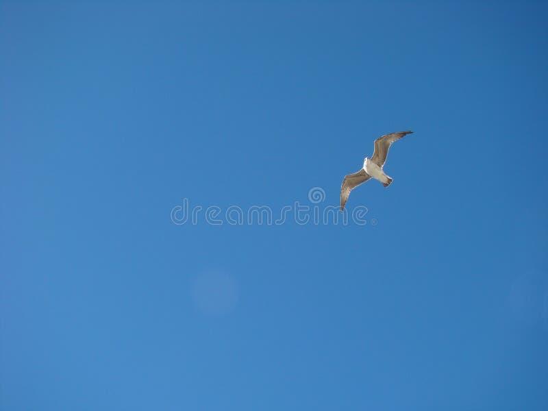 Gaviota fliying en un cielo azul fotografía de archivo libre de regalías