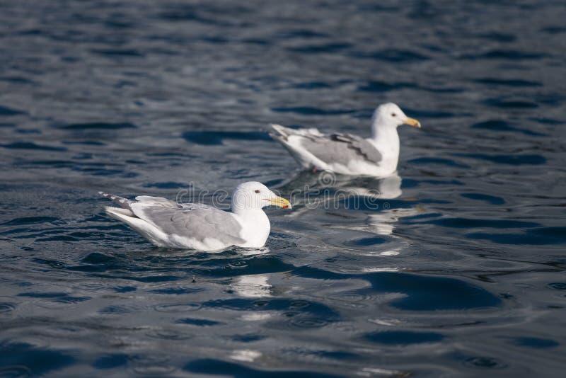 Download Gaviota Glauca En Homer Alaska Imagen de archivo - Imagen de polar, océano: 42442837