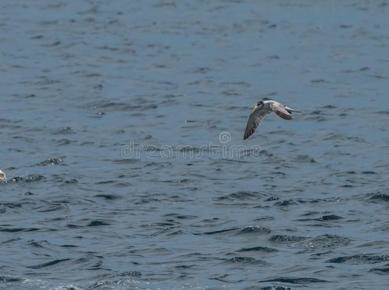 Gaviota gris que vuela sobre la superficie del agua con las ondas Singapur fotografía de archivo libre de regalías