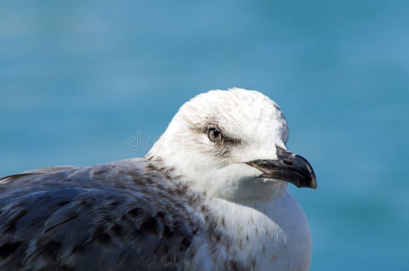 Gaviota gris y azul blanca que hace frente al mar foto de archivo libre de regalías