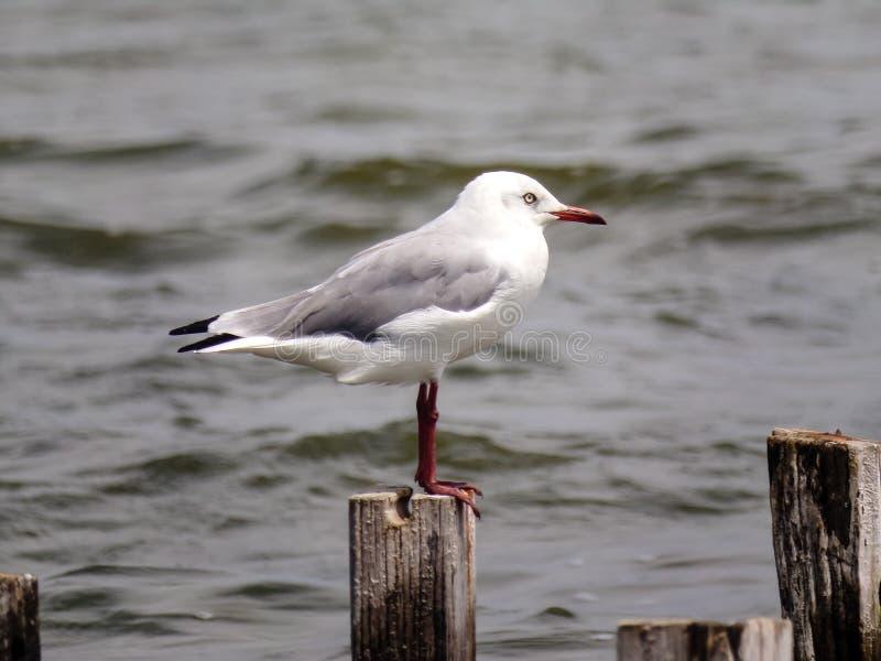 Gaviota gris y blanca en el lago imagenes de archivo