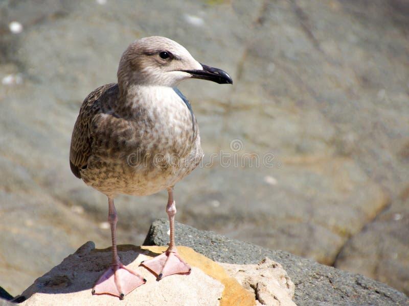 Gaviota joven curiosa en rocas costeras imágenes de archivo libres de regalías