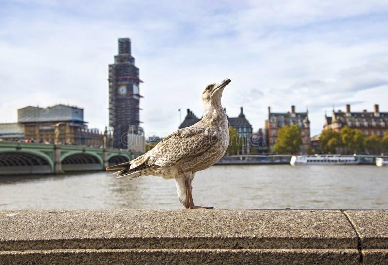 Gaviota linda delante del río Támesis en la ciudad de Londres - fondo el puente de Westminster y del reloj de Big Ben fotos de archivo libres de regalías