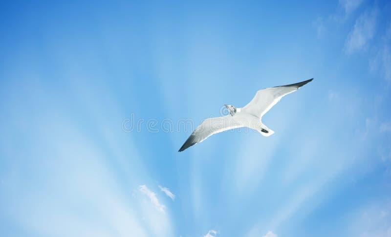 Gaviota o gaviota de plata en cielo azul con las nubes blancas foto de archivo