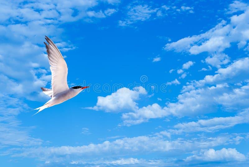 Gaviota o gaviota del vuelo en cielo azul con las nubes blancas foto de archivo libre de regalías