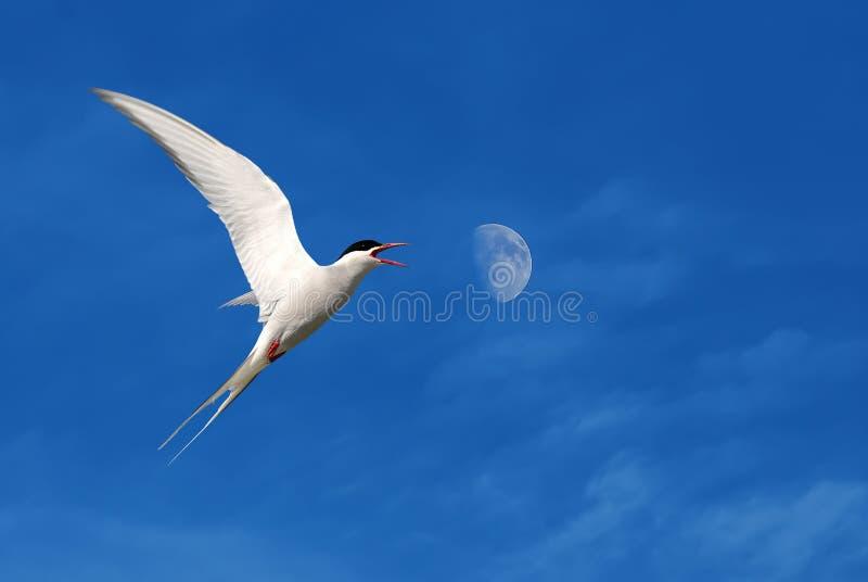 Gaviota o gaviota en cielo azul con las nubes blancas foto de archivo