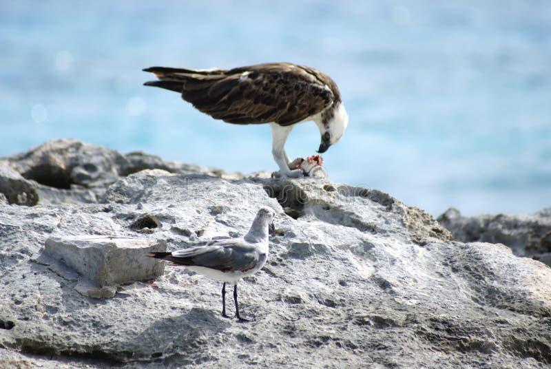 Gaviota o gaviota que mira un águila fotografía de archivo libre de regalías