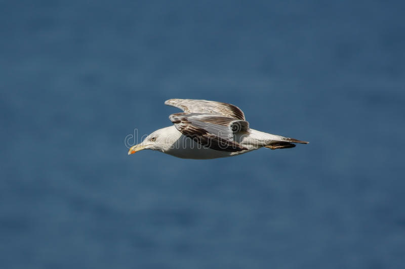 Gaviota que está volando sobre el mar azul fotografía de archivo libre de regalías