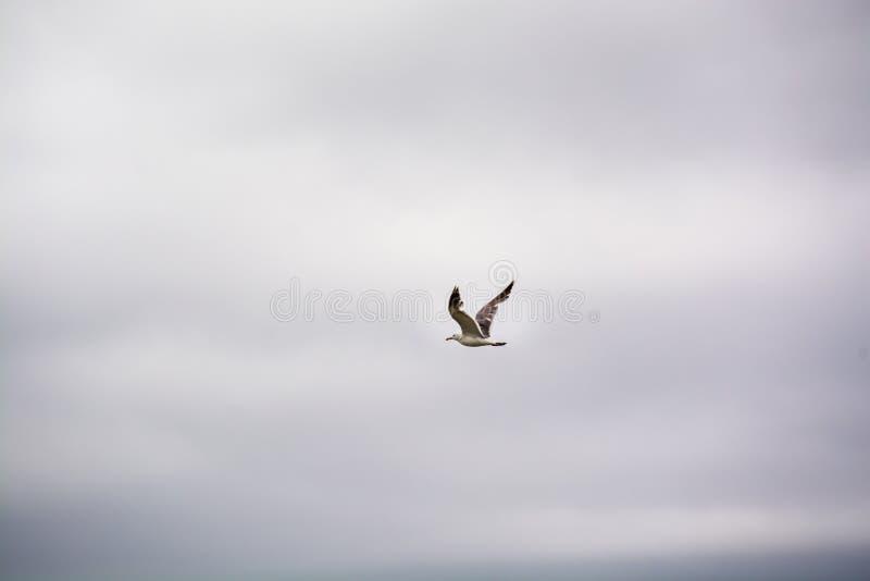 Gaviota que flota en el cielo melancólico fotografía de archivo