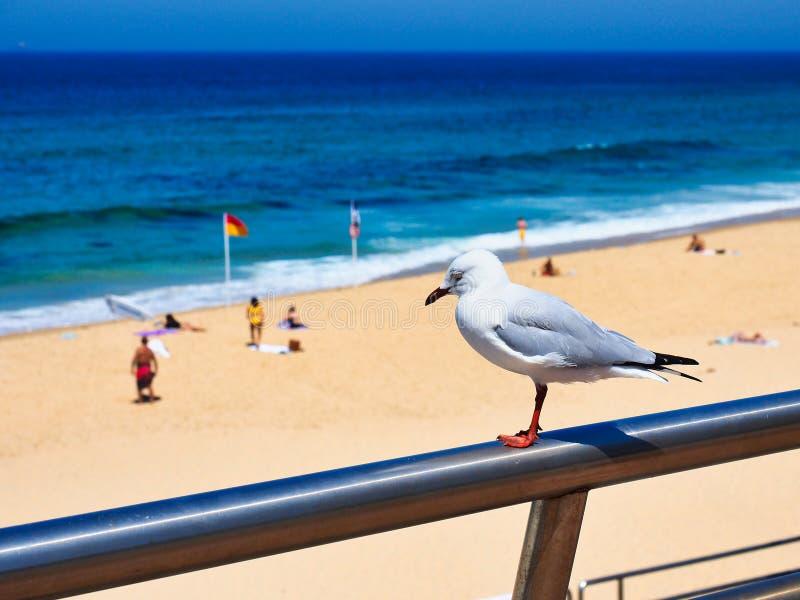 Gaviota que pasa por alto la playa de Newcastle, Australia fotografía de archivo libre de regalías